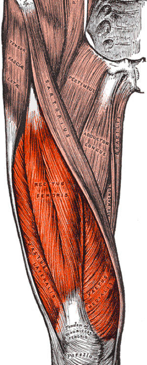Quadriceps femoris muscle - The quadriceps consists of four separate muscles