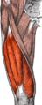 Quadriceps.png