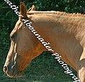 Quarter Horse (2662899854).jpg