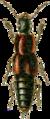 Quedius nigriceps Jacobson.png