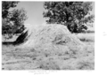 Queensland State Archives 5307 Wheaten haystack Charleville district January 1955.png