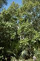 Quercus chapmanii (23790581999).jpg