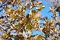 Quercus douglasii-9.jpg