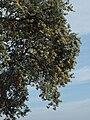 Quercus ilex ballota 20091019 2.jpg