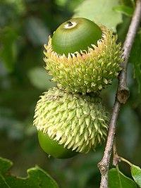 Quercus libani seeds