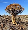 QuiverTree-Namibia-2015.JPG