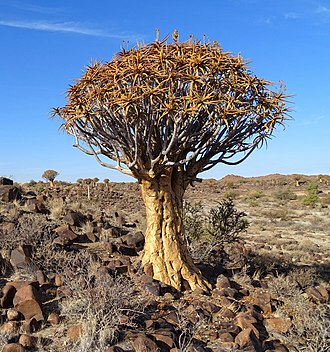 Aloidendron dichotomum - Image: Quiver Tree Namibia 2015