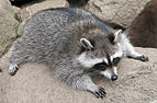 Raccoon (Procyon lotor) 3.jpg