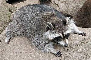 Raccoon (Procyon lotor) 3