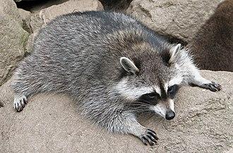 Procyon (genus) - Image: Raccoon (Procyon lotor) 3