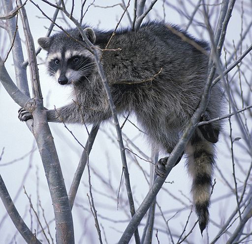 Raccoon climbing in tree clipped