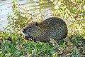 Ragondin (Myocastor coypus) (35).jpg