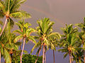 Rainbow over palms at Big Island of Hawaii.jpg
