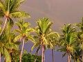 Rainbow over palms at Big Island of Hawaii.jpg