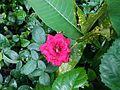 Rajshahi bikkho melai tola ekti rose!.jpg