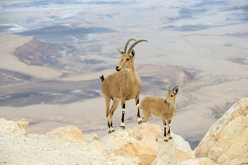 two goats on top of the mountain
