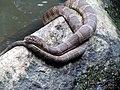 Rat Snake Umstead State Park 1917 (9299960227) (3).jpg