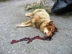 Recently shot Greenland dog upernavik 2007-07-02 edited.jpg