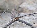 Red-Mantled Rosefinch (Carpodacus rhodochlamys) (31685155057).jpg