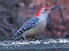 Red-bellied woodpecker on railing