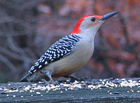 Red-bellied woodpecker on railing.JPG