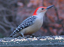 Male red-bellied woodpecker,