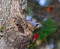 Red-breasted Nuthatch (Sitta canadensis)7.jpg