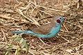 Red-cheeked cordon-bleu (Uraeginthus bengalus bengalus) male.jpg