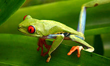 Red-eyed tree frog.jpg