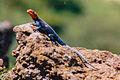 Red-headed Agama Lizard (8426459179).jpg