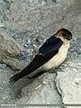 Red-rumped Swallow (Cecropis daurica) (20173872088).jpg