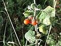 Red Berries of Solanum sp. - Reggio Calabria (Italy) - 8 Nov. 2016 - (2).jpg