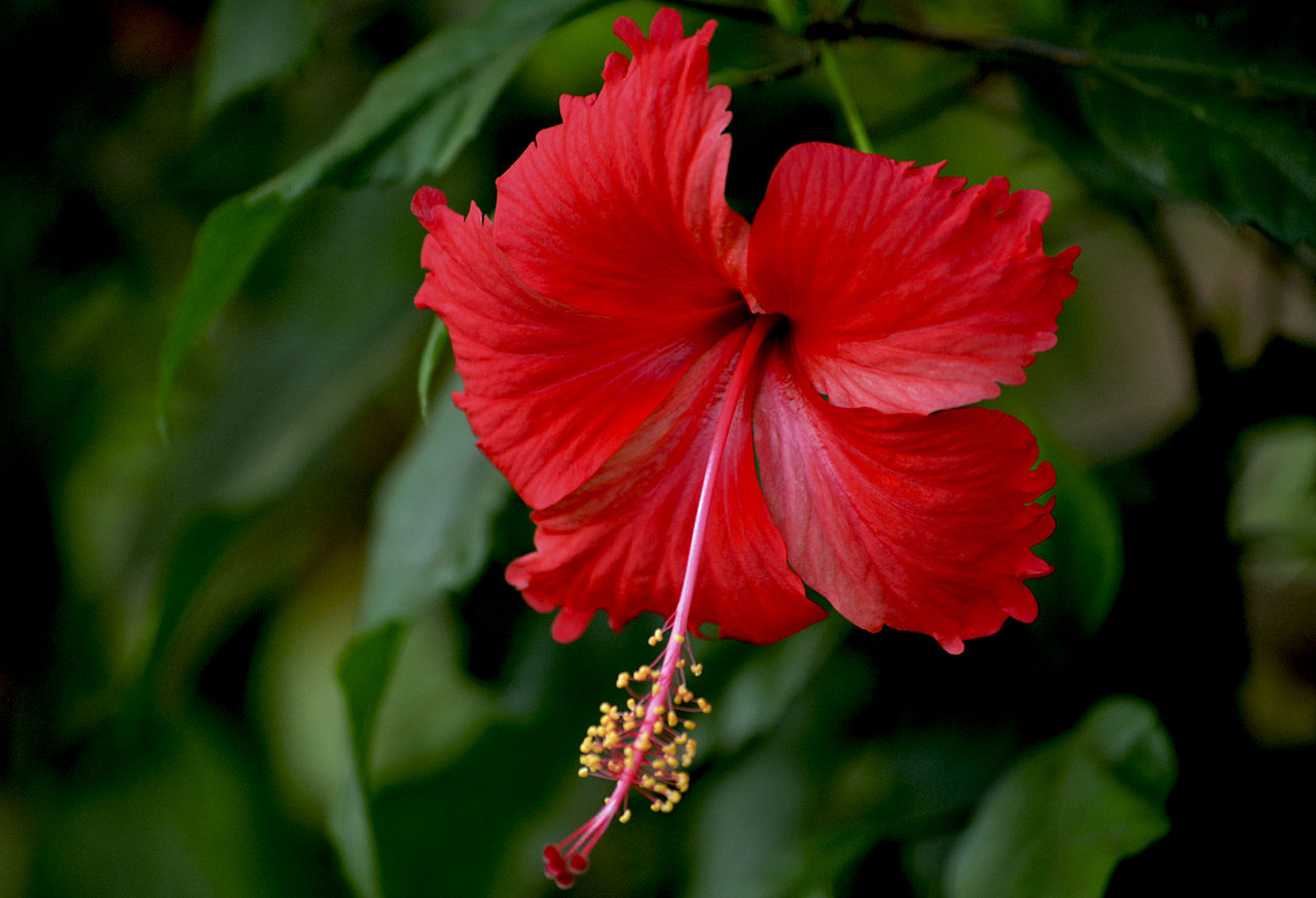 Filered Hibiscus From Keralag Wikimedia Commons