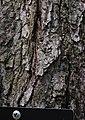 Red Maple Acer rubrum Bark Closeup 1809px.jpg