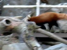 Файл:Red Panda National Zoo.ogv