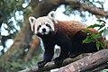Red Panda on tree at Padmaja Naidu Himalayan Zoological Park, Darjeeling, West Bengal.jpg
