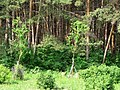Red Pine Woods in Erdaobaihe Town 二道白河赤松林 - panoramio.jpg