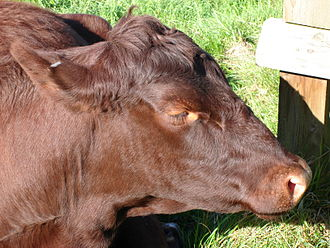 Polled livestock - A Red Poll bullock