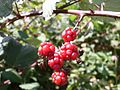 Red blackberry berries (3394702398).jpg