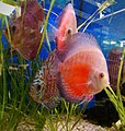 Red discus (Symphysodon discus).jpg