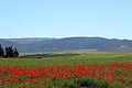 Red field seliana.JPG