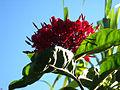Red flower (4699419305).jpg