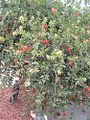 Red flower bush San Joaquin Valley.jpg