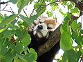 Red panda in Chausuyama Zoo 05.jpg