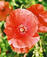 Red poppy at ruskin house.jpg