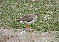 Redshank Tringa totanus (33332756570).jpg