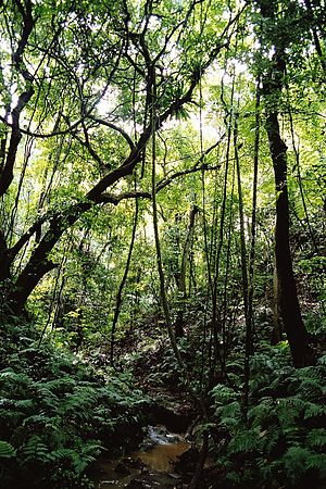 ʻEua - Forest in 'Eua