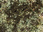 Reichlingia leopoldii 01 at lichenology info.jpg