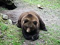 Resting bear.jpg