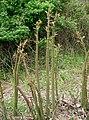 Reynoutria japonica4.jpg